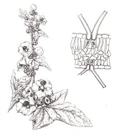 корень алтея против глистов